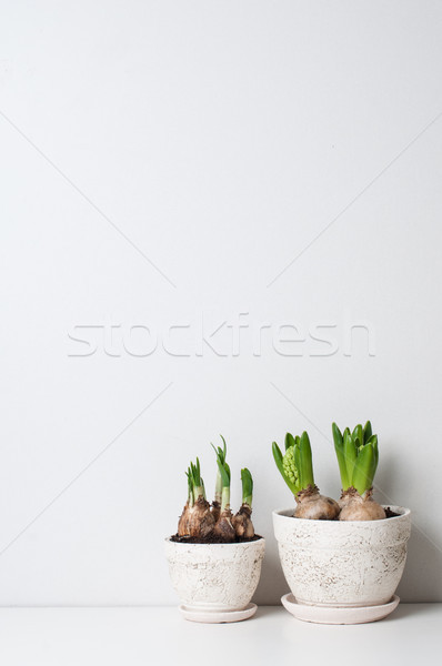 Hyacinth and narcissus sprouts Stock photo © manera