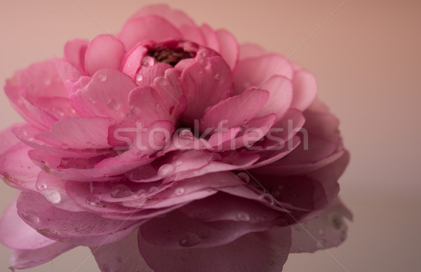 Stock fotó: Pasztell · rózsaszín · puha · virág · makró · lövés