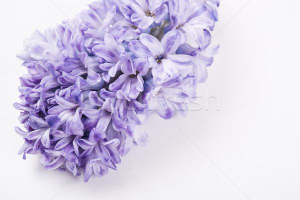 Lila jácint virágok fehér izolált makró Stock fotó © manera