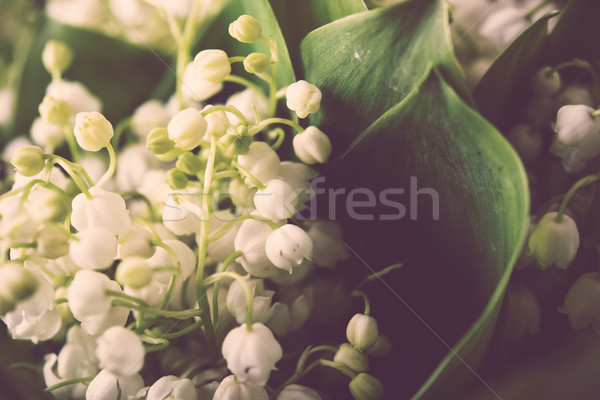 fresh lilies of the valley Stock photo © manera