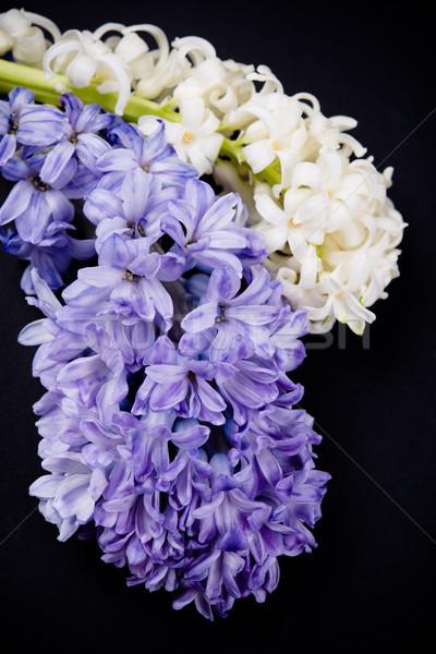 Mor beyaz sümbül çiçekler siyah yalıtılmış Stok fotoğraf © manera