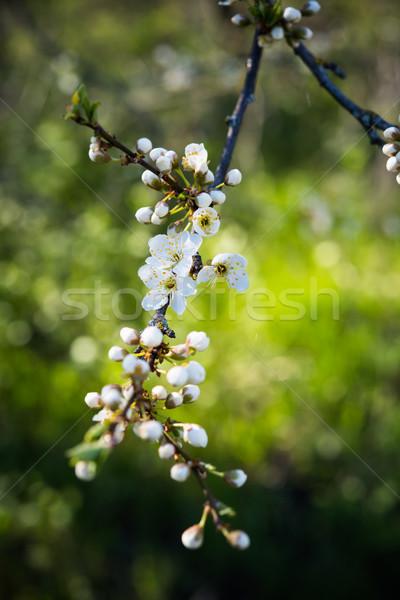 apricot tree flowers Stock photo © manera