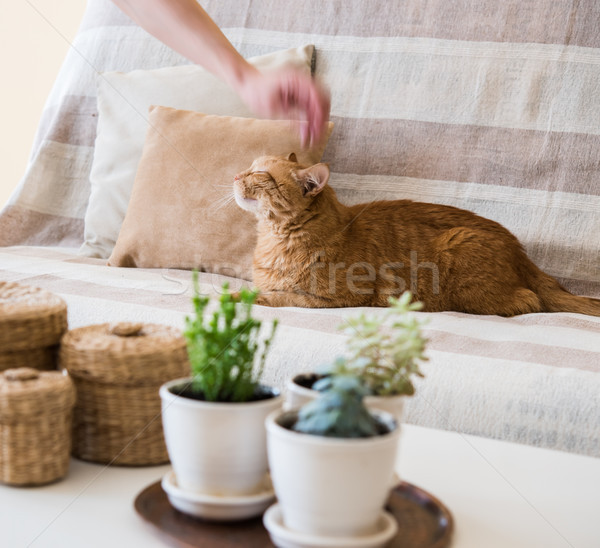 hand petting a cat Stock photo © manera