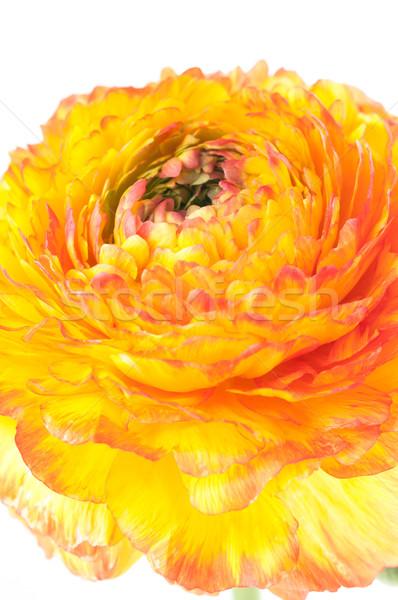 красный желтый цветок ярко белый весны Сток-фото © manera
