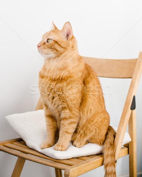 имбирь кошки большой жира сидят Председатель Сток-фото © manera