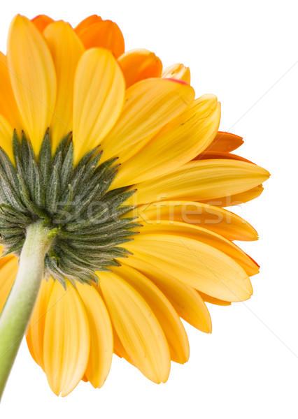 Сток-фото: желтый · оранжевый · красивой · свежие · цветок · изолированный
