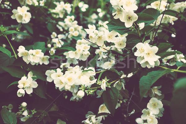 Fioritura Bush fiori bianchi estate sfondo verde Foto d'archivio © manera
