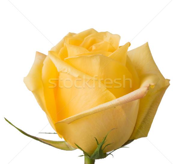 fresh yellow rose Stock photo © manera