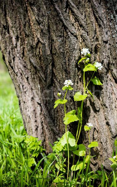 花 木の幹 白 公園 自然 ストックフォト © manera