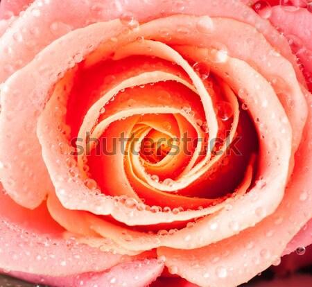 rose flower vintage style Stock photo © manera