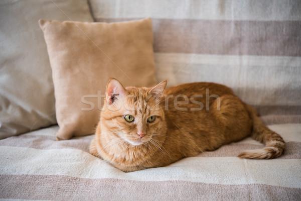 Preguiçoso gengibre gato sofá grande Foto stock © manera