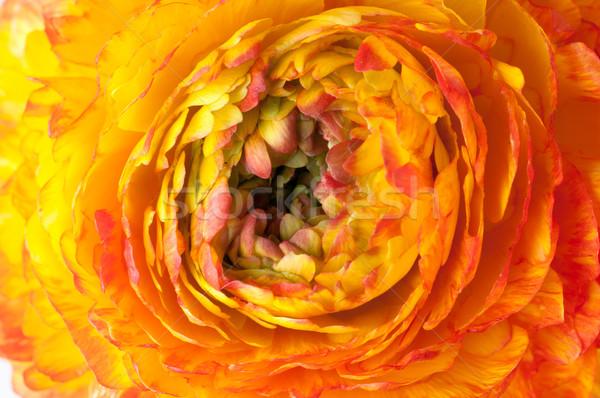 red and yellow flower  Stock photo © manera