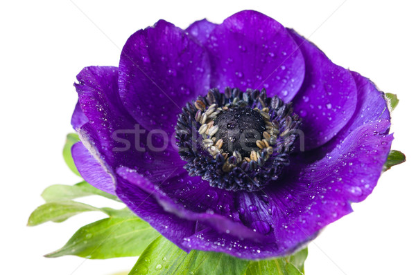 purple anemone flower Stock photo © manera