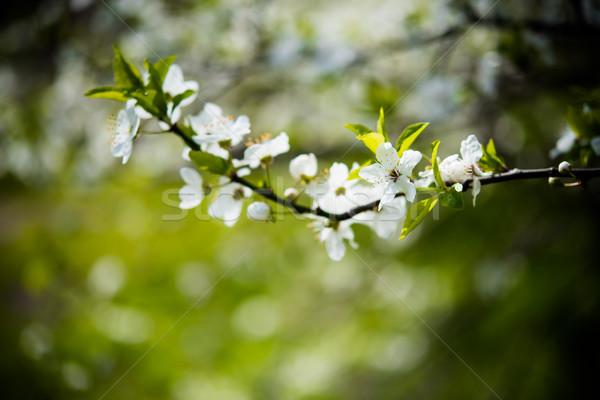 blooming tree branch Stock photo © manera