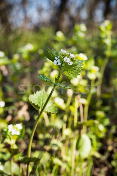 Flores silvestres grama pequeno primavera floresta Foto stock © manera