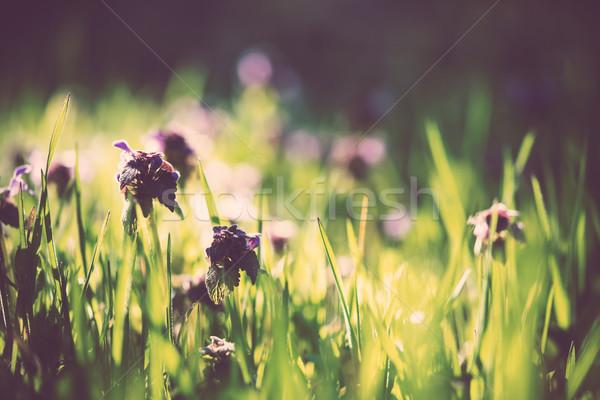 Sauvage pourpre fleurs herbe verte printemps forêt Photo stock © manera
