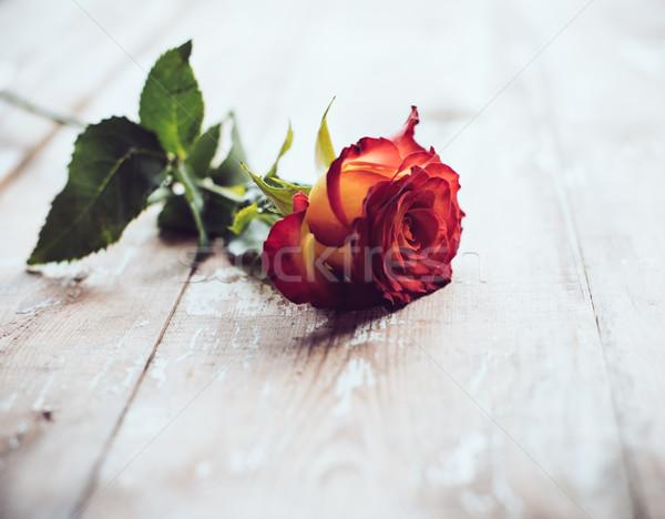 Fresh red rose Stock photo © manera