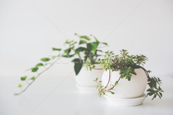 Сток-фото: зеленый · домой · растений · керамической · белый