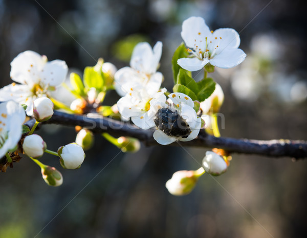 Bogár sárgabarack fa virág nagy virágoskert Stock fotó © manera