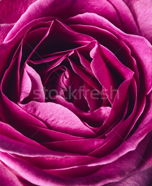 fresh pink rose Stock photo © manera