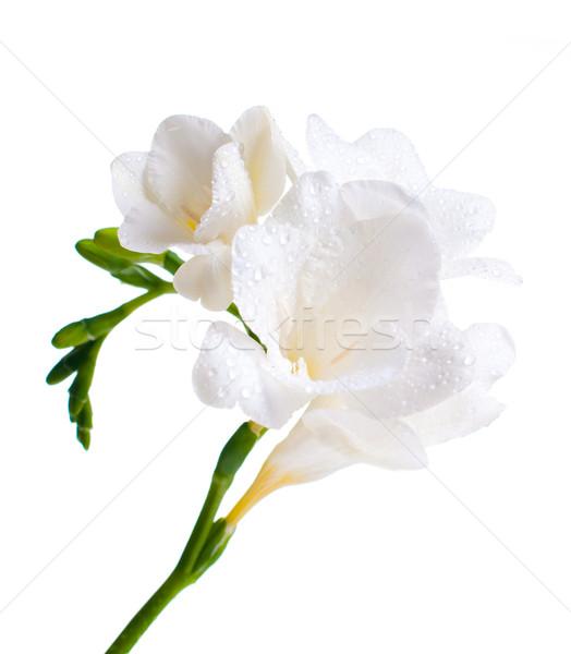 Beyaz çiçekler su damlası su güzellik Stok fotoğraf © manera