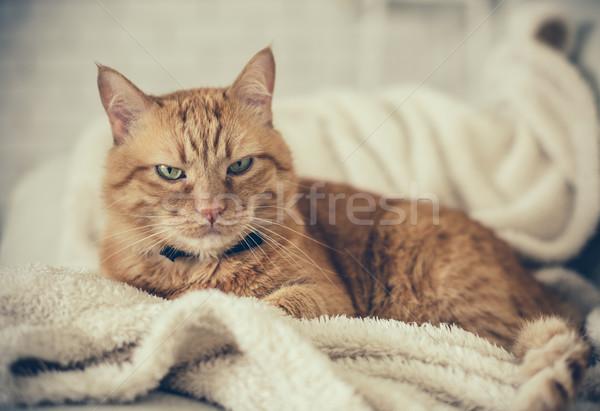Gember kat groot home pluizig ontspannen Stockfoto © manera