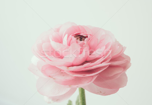 Pastel rose soft fleur macro coup Photo stock © manera
