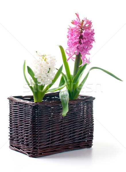 Dois jacinto cesta folhas branco primavera Foto stock © manera
