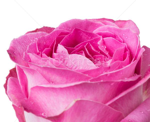 Сток-фото: свежие · Розовые · розы · красивой · макроса · выстрел · элегантный