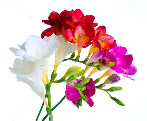 multi-colored freesias Stock photo © manera