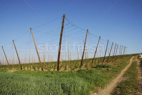 Stockfoto: Hop · veld · groeiend · hemel · patroon · landbouw
