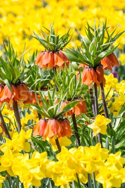 Primavera cores flores da primavera laranja amarelo narcisos Foto stock © manfredxy