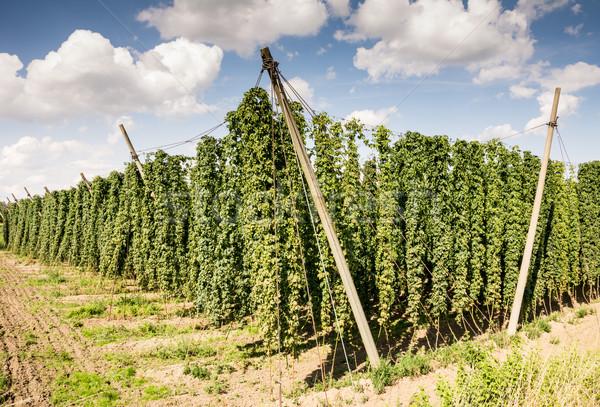 Hop giardino crescita natura campo impianto Foto d'archivio © manfredxy