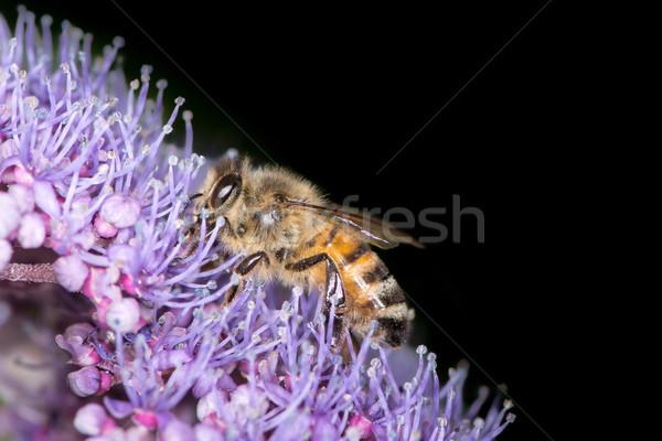 Méh gyűjt virágpor lila virág virágok Stock fotó © manfredxy