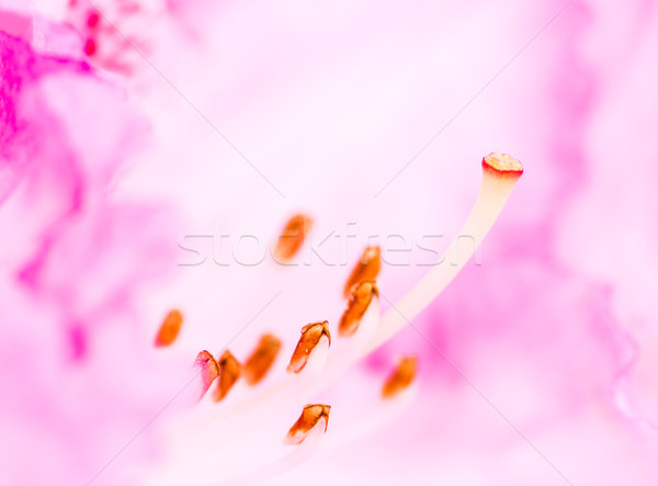 Pistil of a Rhododendron Blossom Stock photo © manfredxy