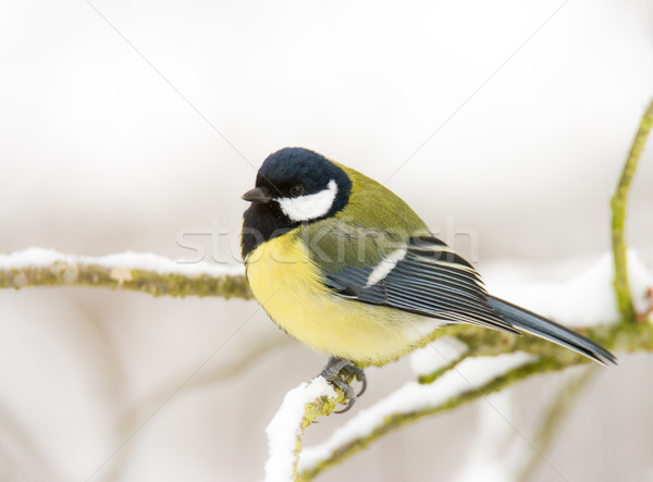Great tit bird sitting on a snow covered tree Stock photo © manfredxy
