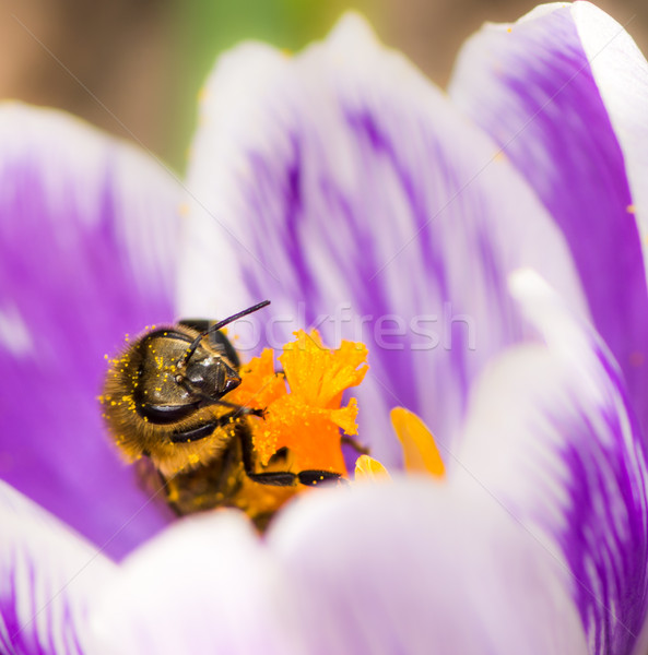 Honeybee pollinating a purple crocus flower Stock photo © manfredxy