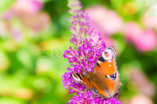 Peacock butterfly collecting nectar at a budleja blossom Stock photo © manfredxy