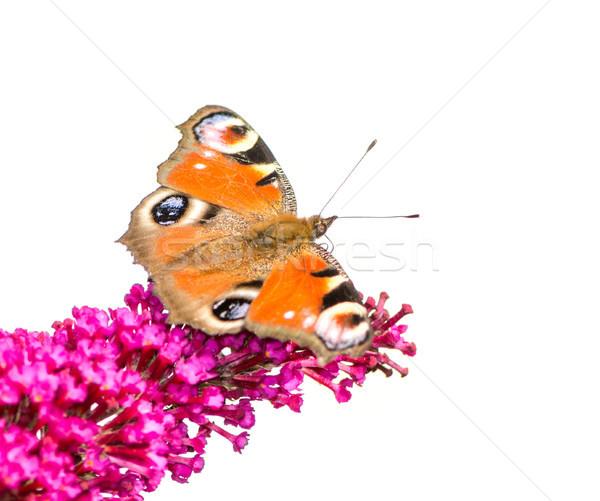 ヨーロッパの 孔雀 蝶 座って 花 自然 ストックフォト © manfredxy
