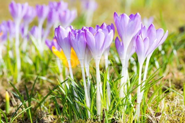 Mor çiğdem çiçekler grup çim çiçek Stok fotoğraf © manfredxy