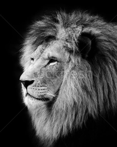 Lion Stock photo © manfredxy