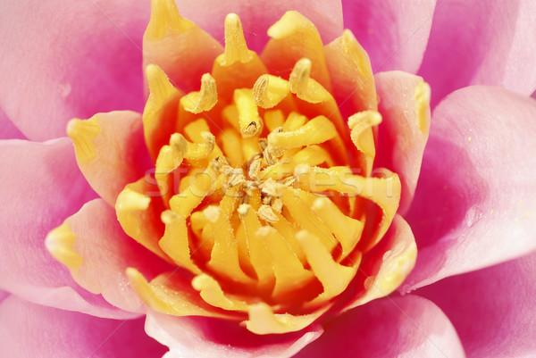 Lótusz rózsaszín tökéletes szimmetria szirmok közelkép Stock fotó © manfredxy