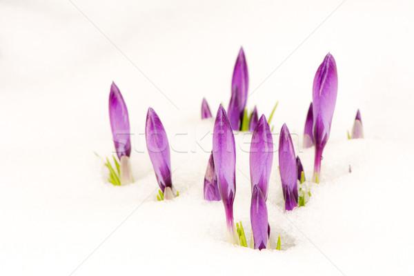 Mor çiğdem çiçekler kar seçici odak Stok fotoğraf © manfredxy
