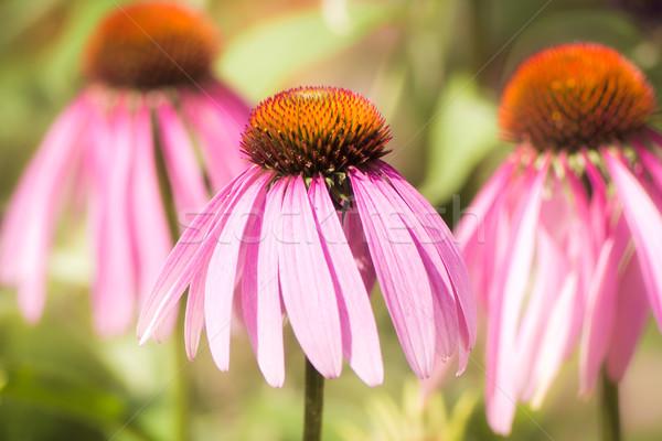 Virág rózsaszín természet makró közelkép Stock fotó © manfredxy