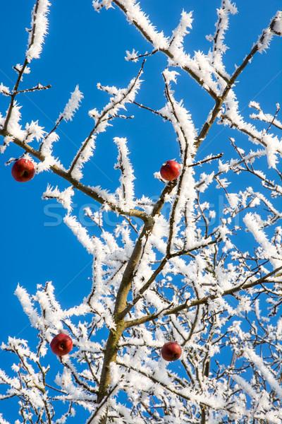Maturo mele coperto gelo congelato albero Foto d'archivio © manfredxy