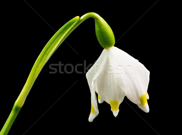 Wiosną Snowflake kwiat odizolowany czarny makro Zdjęcia stock © manfredxy