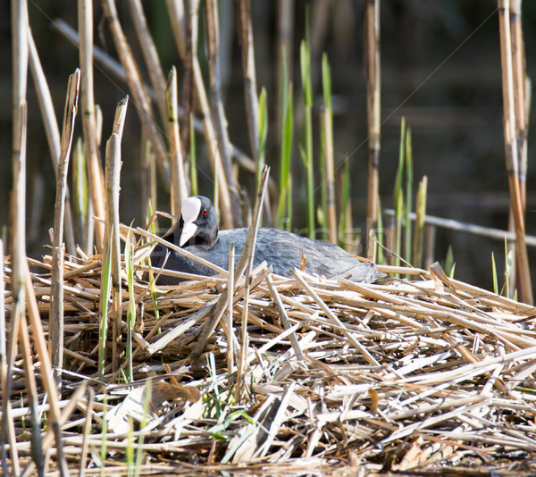 Eurasian coot breeding in its nest Stock photo © manfredxy