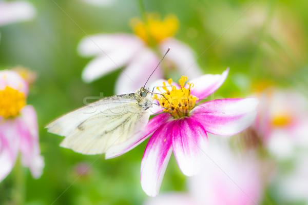 Lahana kelebek çiçek çiçek hayvan Stok fotoğraf © manfredxy