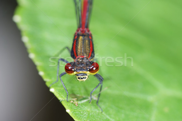 Damselfly Stock photo © manfredxy