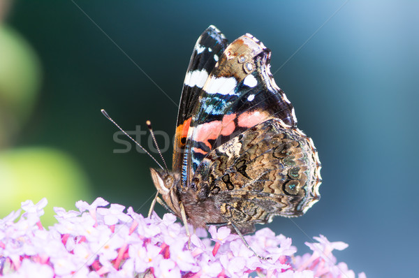 Painted Lady Butterfly Stock photo © manfredxy